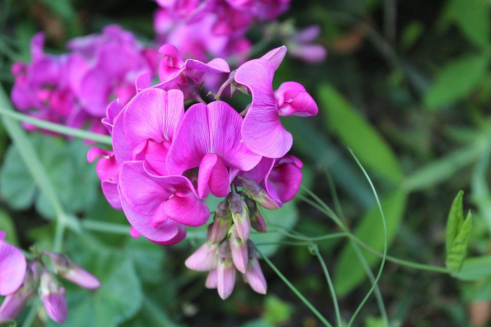 Sweet Pea Scented, Ornamental Plants, Garden, Nature