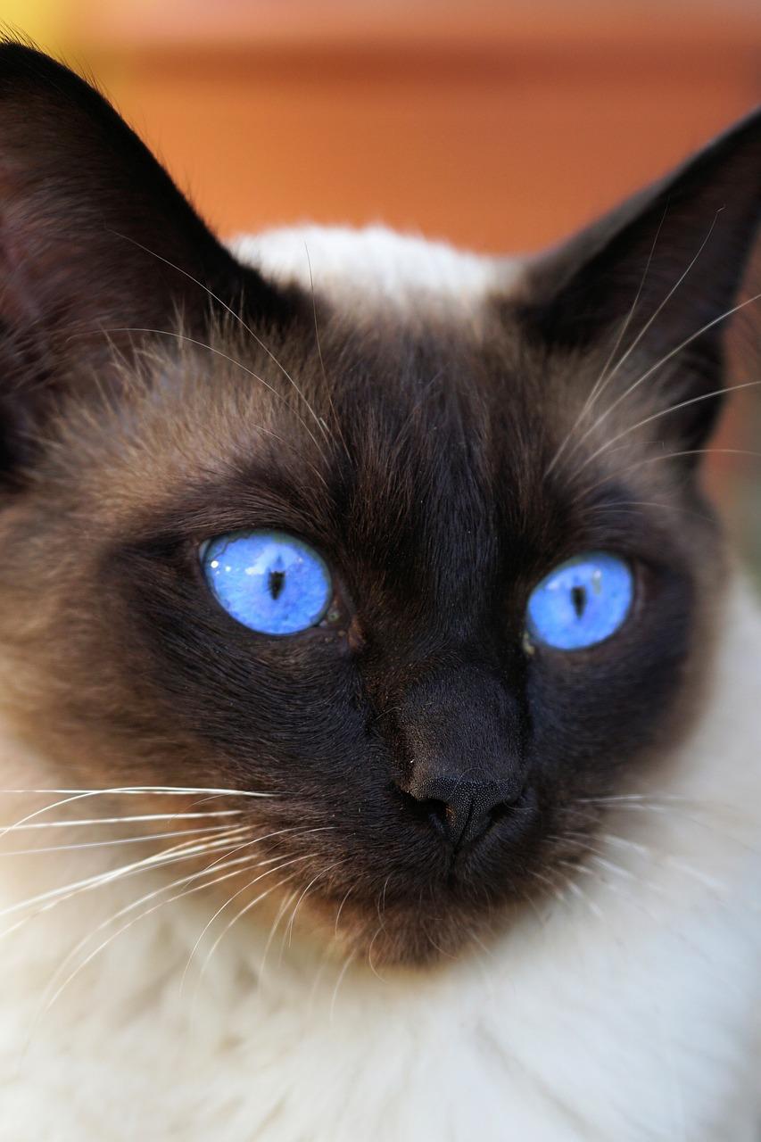 изготавливается картинки кошек красивые сиамские кошки небольшой вес