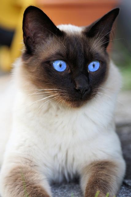siam siamese cat domestic  u00b7 free photo on pixabay