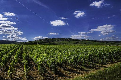 Winorośl, Wino, Winnica, Niebieski