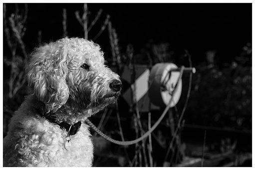 Goldendoodle, Black And White