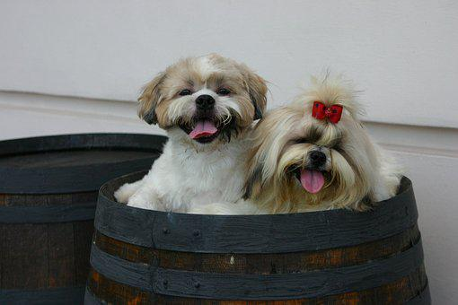 Shihtzu, Pet, Puppy, Dog, Cute, Breed