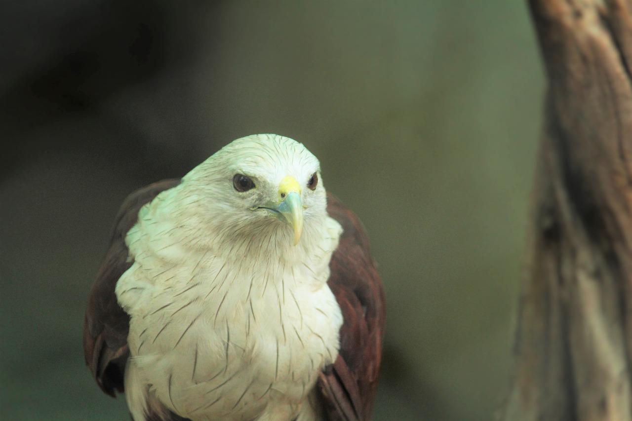 белый орел фото животные исполнил