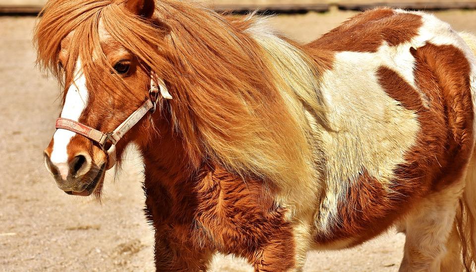 image cheval mignon
