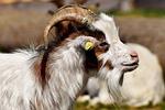 billy goat, goats, animal
