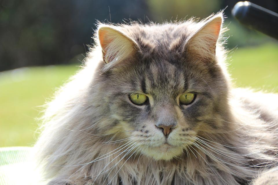 Maine Coon Chat De Race Gueule , Photo gratuite sur Pixabay