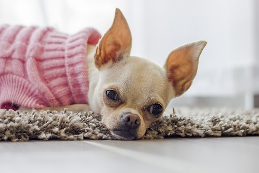 Chihuahua, Dog, Puppy, Cute, Nose, Watch