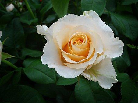 Роуз, Белая Роза, Розы Цветы