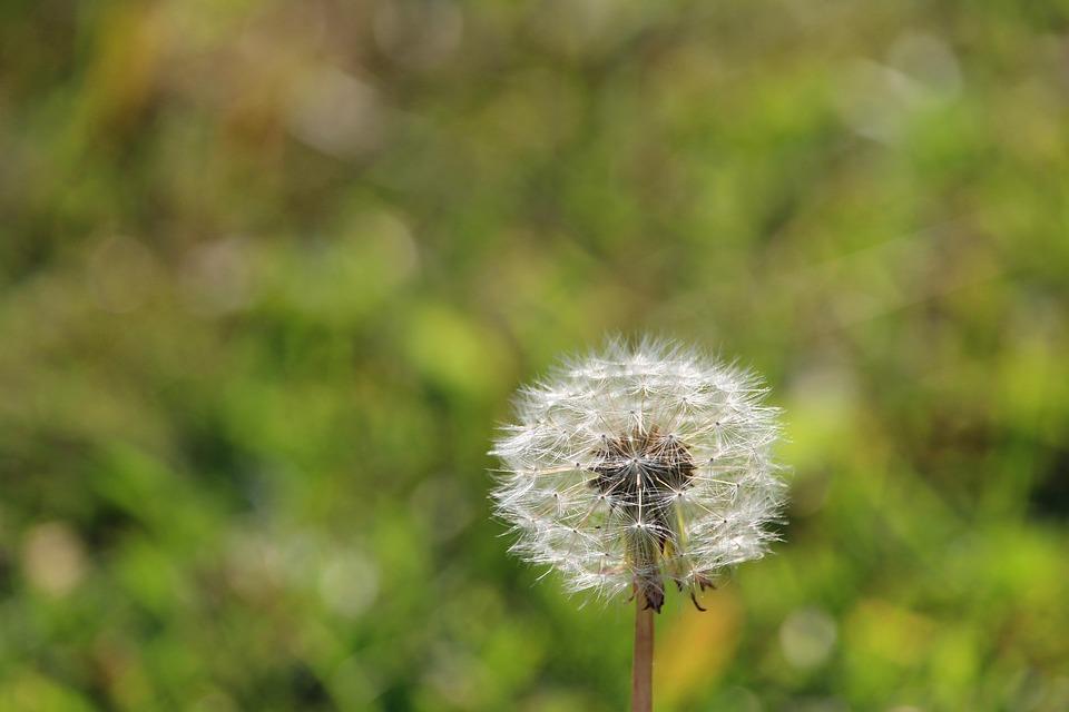 Weed Flower Dandelion · Free photo on Pixabay