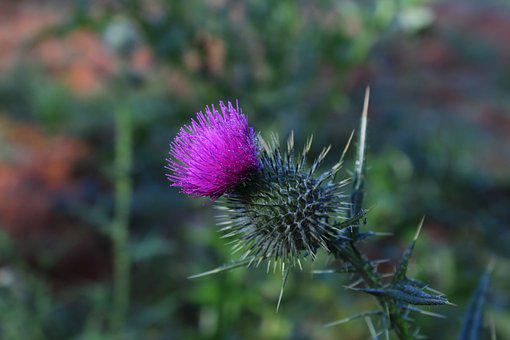 Scotch, Thistle, Flower, Purple, Prickly