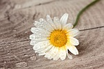 still life, flower, marguerite