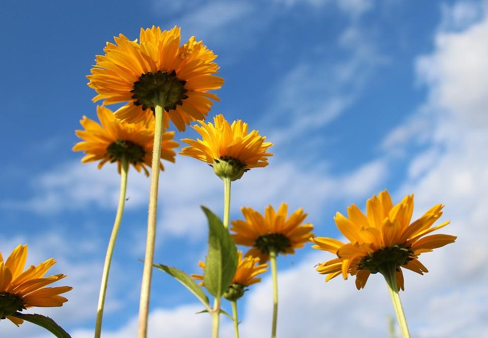 Soneczniczki rough yellow flowers free photo on pixabay soneczniczki rough yellow flowers plant nature mightylinksfo