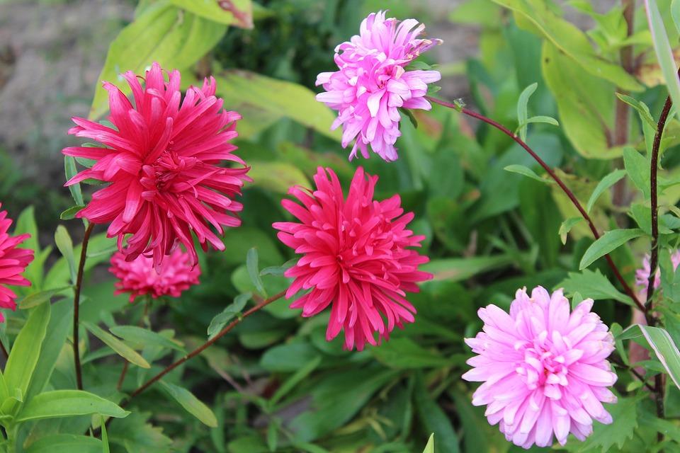 Astra Herbstblumen Garten Kostenloses Foto Auf Pixabay