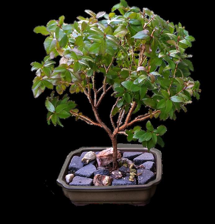 Bonsai, Myrtle, Tree