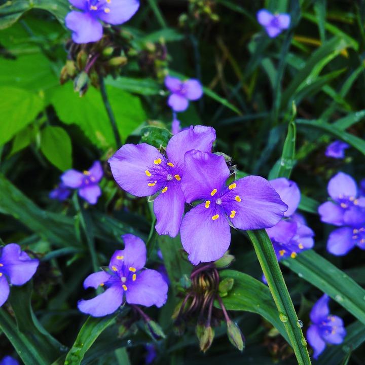Вдовьи слезы цветок