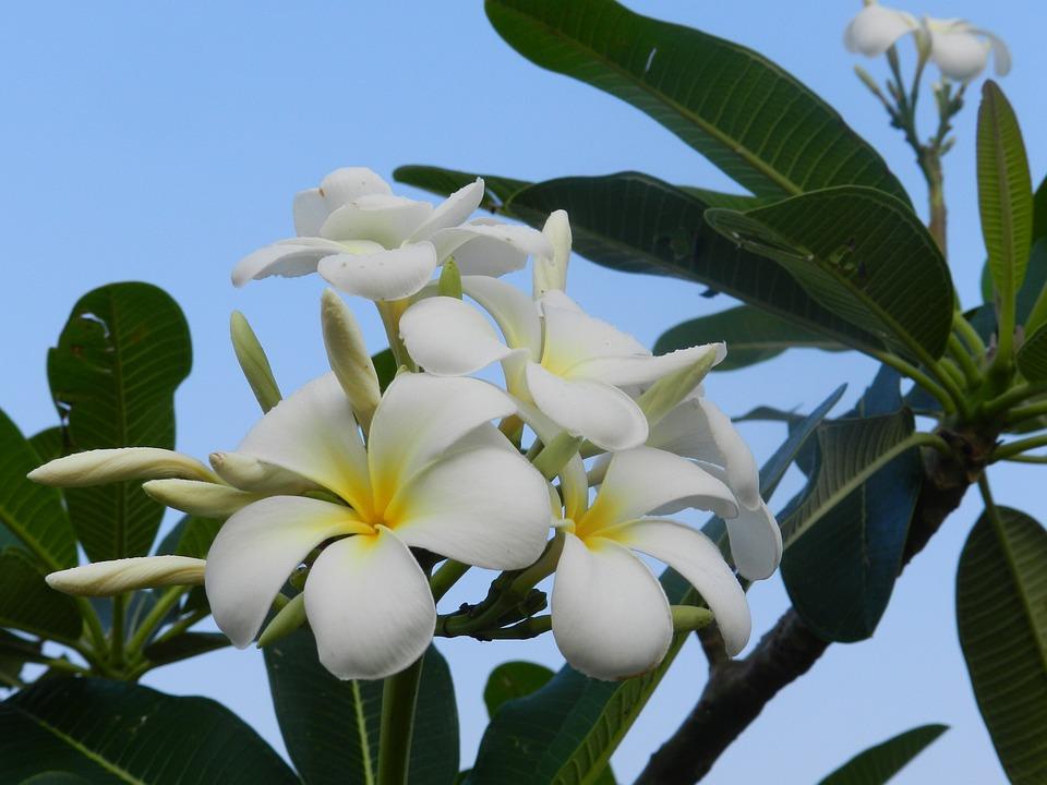 Fragrant flowers white free photo on pixabay fragrant flowers white flowers frangipani sky blue mightylinksfo