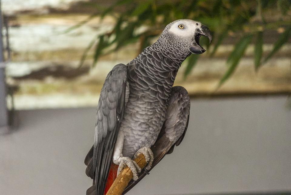 Oiseau Perroquet Gris Du Gabon Photo Gratuite Sur Pixabay