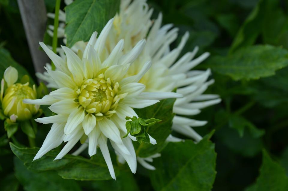 dahlia cactus blanc