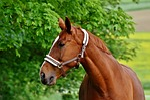 horses, coupling, stallion