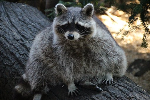Raccoon, Zoo, Furry, Mammal, Sweet