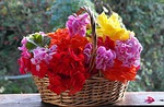 geranium, petunia
