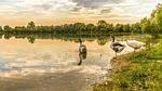 geese, lake, waterfowl