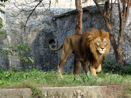 Roi lion images gratuites sur pixabay - Photos de lions gratuites ...