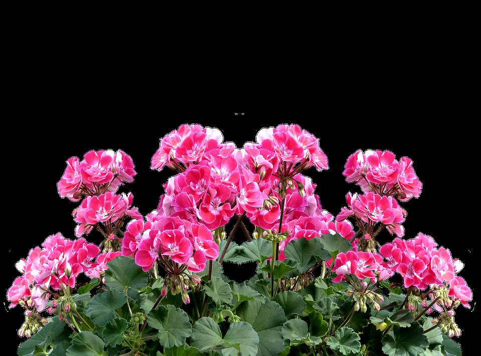Geranium Balkonblumen Summer Balcony Plant Flower