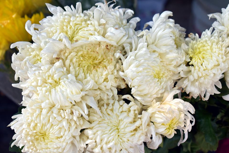 White spider mums chrysanthemum free photo on pixabay white spider mums chrysanthemum flower white flowers mightylinksfo
