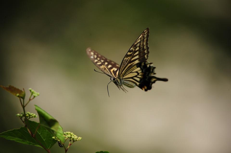 Mariposa Vuelo Cola De - Foto gratis en Pixabay