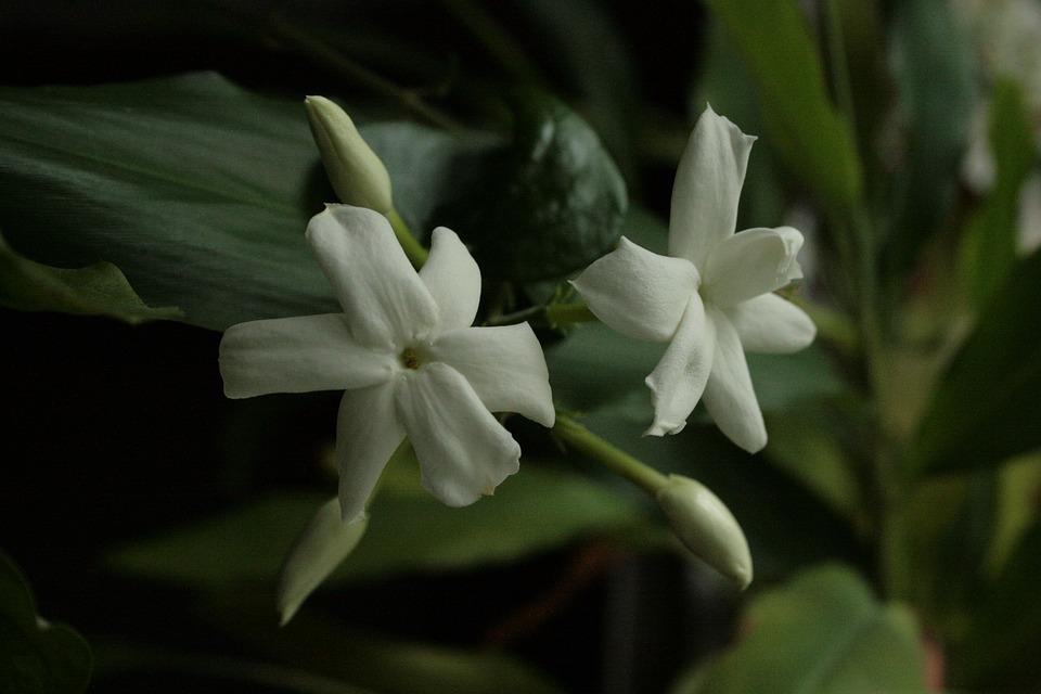 Jasmin, Jasmine Blossoms, Jasminum Sambac