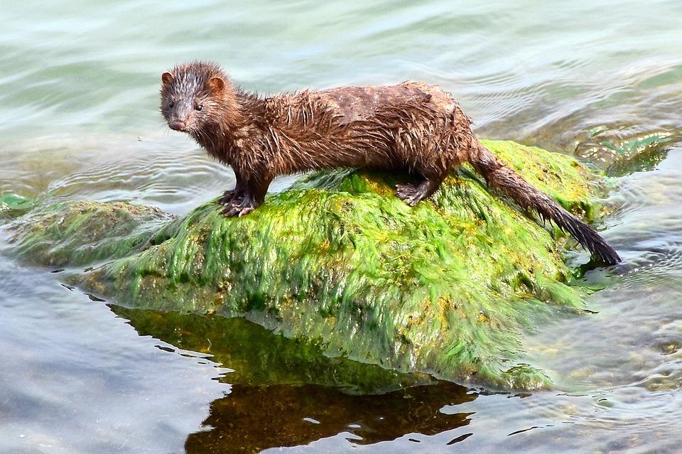 e17f05a9cd1 Norek Americký Vodních Živočichů · Fotografie zdarma na Pixabay
