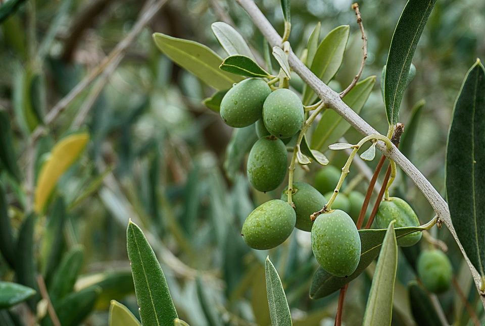Olives Olive Tree Leaves Free Photo On Pixabay