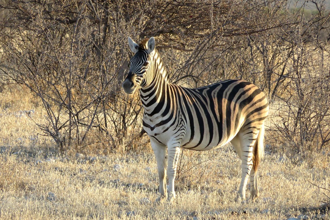 斑马,非洲,动物,肖像,光,日落,太阳,马,条纹,萨凡纳,野生动物园,树,野生,非洲人,黑色,白,布什,性质
