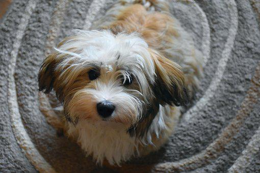 Havanese, Dog, Puppy, Small Dog, Good