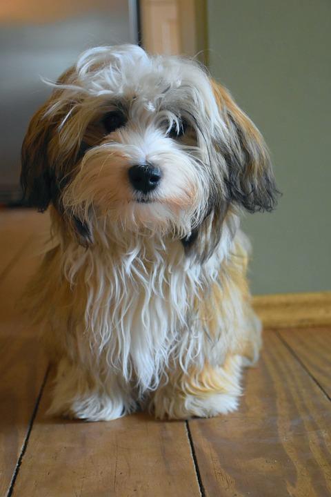 Havaneser Hund Welpe Kleiner Kostenloses Foto Auf Pixabay