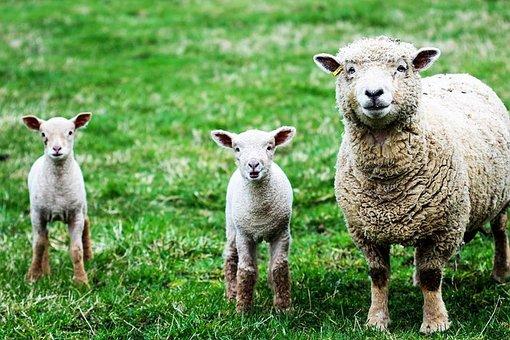 Sheep, Lambs, Farm, Wool, Young, Spring