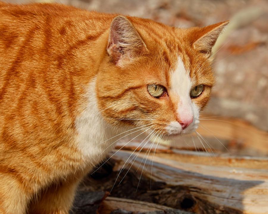Orange Tabby And White Cat