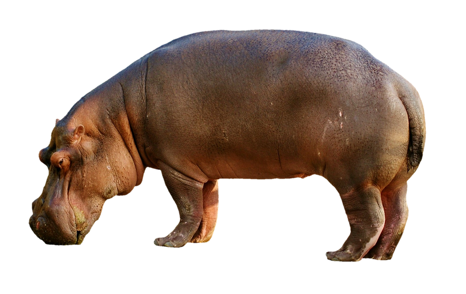 300 Free Hippopotamus Pictures And Images In Hd Pixabay