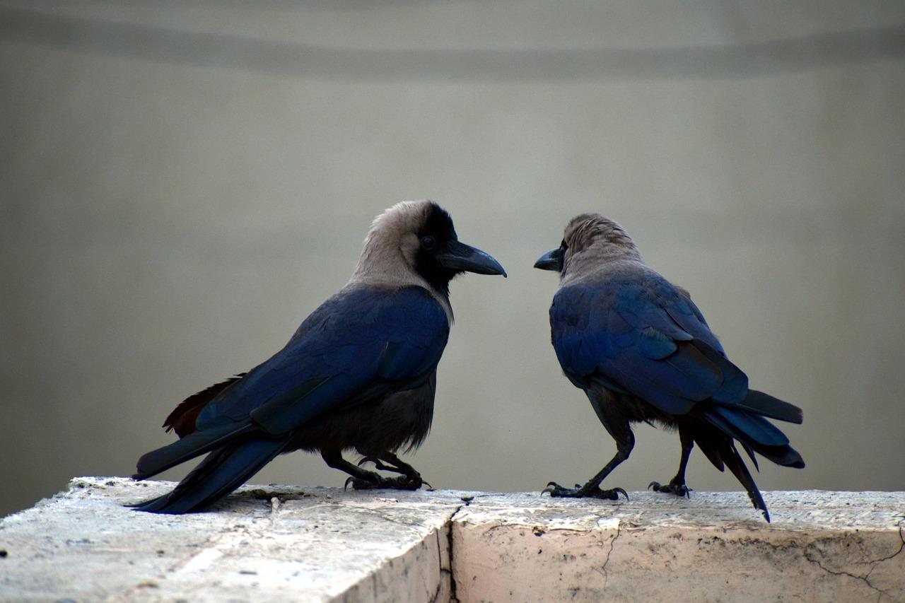 раз, когда фото пары серых ворон возможности позвоните