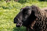 sheep, black sheep, head
