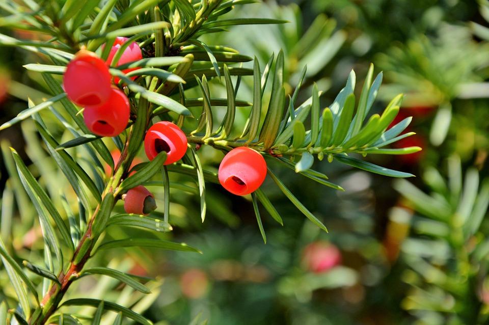 Yew Bush Fruit Free Photo On Pixabay