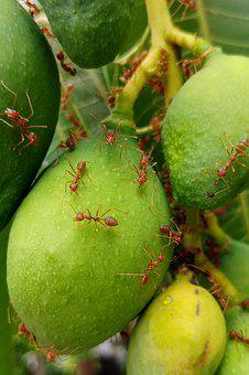 Fire Ants, Red Ants, Ants, Insects