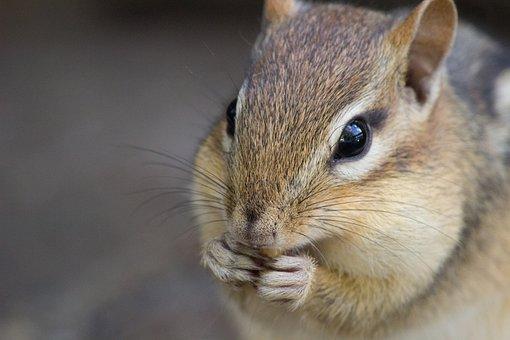 シマリス, かわいい, 野生動物, 自然, 動物, 毛皮, 哺乳動物, 齧歯類