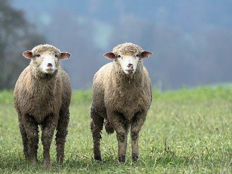 Sheep, Animal, Twin, Wool, Nature