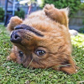 Dog, Upside Down, Square, Pet, Animal pomeranians