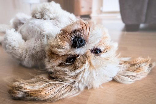Dog, Lhasa Apso, Canine, Animal, Pet