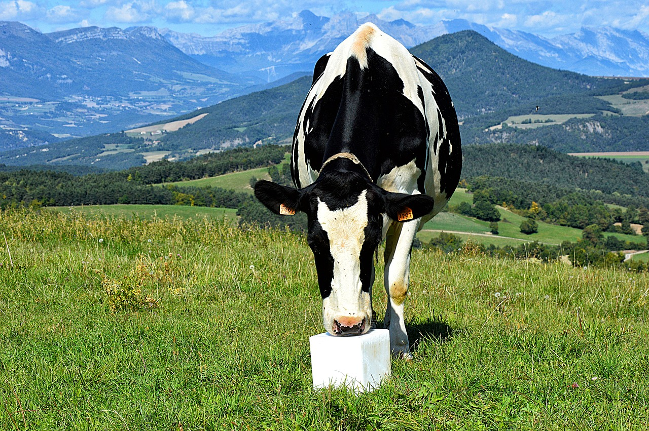 Картинки от коров