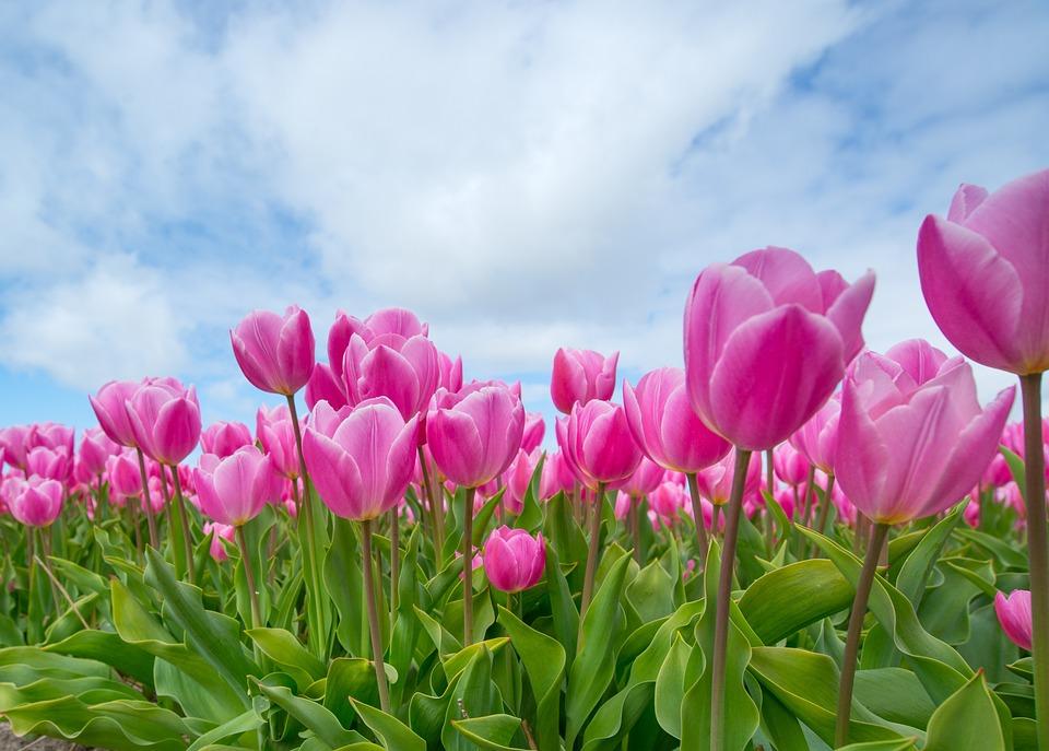 Lampada Fiore Tulipano : Rosa tulipano lampadina · foto gratis su pixabay