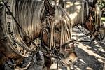 horses, draft horse